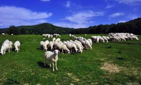 环县:合作社整县提质 打造羊肉全产业链