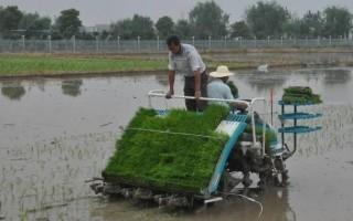 早稻插播接近尾声 面积恢复性增长