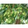 供应八角苗和茴香苗基地 广西八角与茴香产区