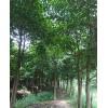 供应玉林秋枫和秋枫树简介 北流秋枫苗种植场