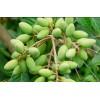 供应黄榄树和橄榄树产区 玉林柚子树与黑榄树苗价格