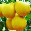 供应广西沙田柚树与柚子树产区 蜜柚树种苗场