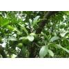 供应野生山竹树和菠萝树产地 玉林龙眼树批发