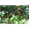 供应八角树和肉桂树油茶树和芭蕉树广西基地